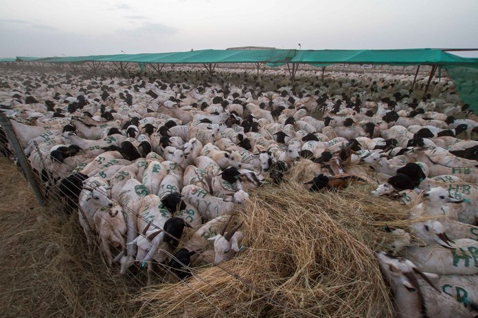 The Animals Destined For Export Are Quarantined For Up To Two Weeks At Berbera Port. During The Busy Hajj Season, There Can Be As Many As One Million Sheep And Goats Across Three Quarantine Stations, Where They Are Screened For Diseases And Checked That They Meet The Requirements Of The Import Countries. [Ashley Hamer/Al Jazeera]