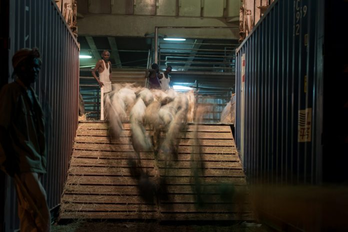 Sheep Are Herded Onto A Ship In The Berbera Port.(Jason Patinkin)