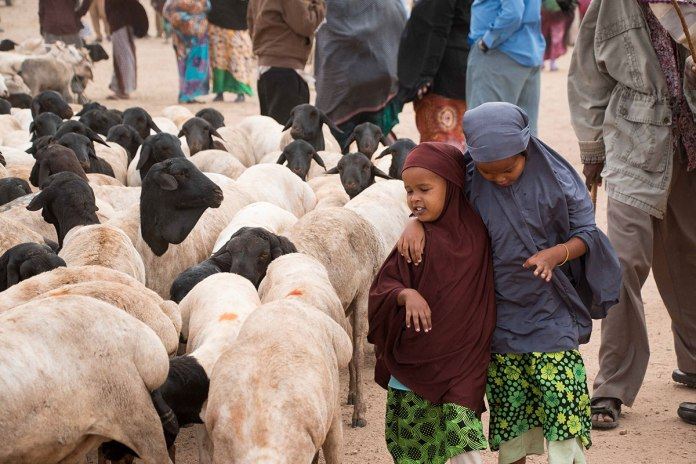 The Somali Black-Headed Or Berberawi Sheep Is Particularly Prized Throughout The Arabian Peninsula For Its Organic Rearing And Because Many People Believe It To Represent The Flocks Of Abraham. During Hajj Season, Individual Animals Fetch Over $80. [Ashley Hamer/Al Jazeera]