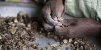 The Disappearing Frankincense Forests
