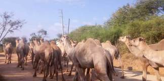 Somaliland To Northeastern Kenya: A Study To Improve Camel Productivity Through A New Drug