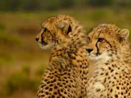 Cheetah Conservation Gets European Support In Somaliland