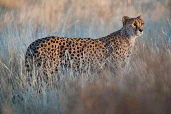 National Geographic: How Somaliland Is Fighting The Illegal Cheetah Trade