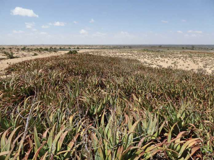 """Aloe Sanguinalis """"Dacar Cas"""": A New Species From Somaliland"""