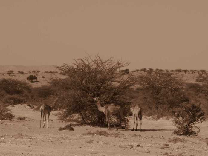 Dromedaries on the way to Las Geel