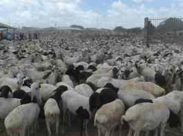 Somaliland To Resume Livestock Export To UAE