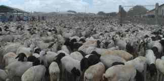 Somaliland To Resume Livestock Export To UAE