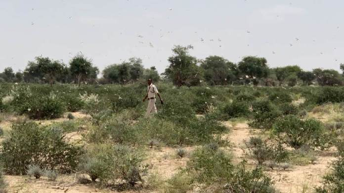 Chasing The Locust Swarms Devastating Somaliland