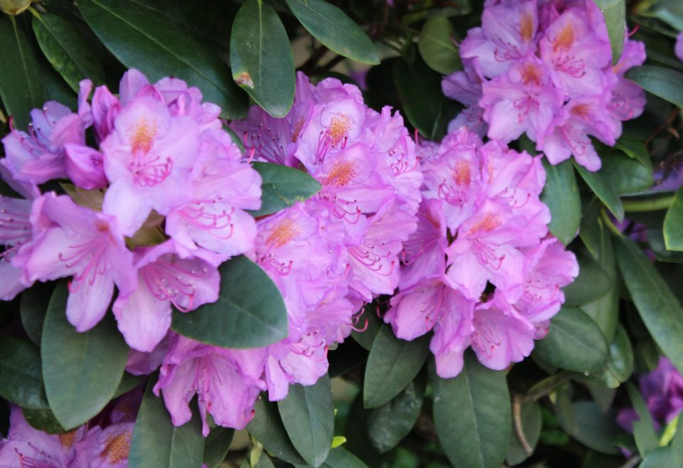 Rhododendron i full blom