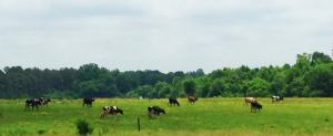 Cows out to Pasture
