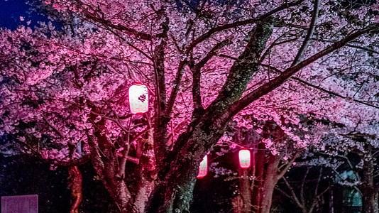 木更津 太田山公園で夜桜を楽しむ