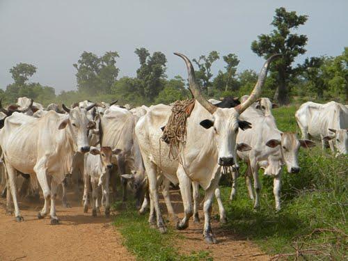 Gov. Ayo Fayose bans grazing in Ekiti