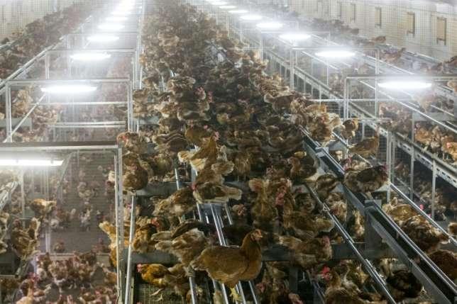 Sweden Slaughters 200,000 hens on Bird Flu virus fears