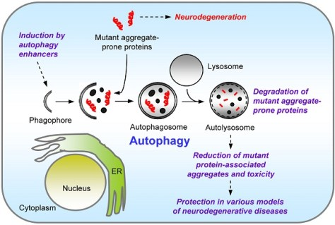 Autophagy and neurodegeneration (Credit: Sovan Sarkar/MIT)