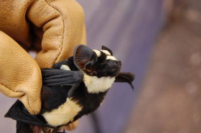 Beautiful bat species Niumbaha superba (Credit: DeeAnn Reeder, Bucknell University)