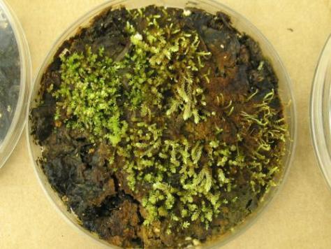 Lab culture of the plants (Credit: Catherine La Farge)