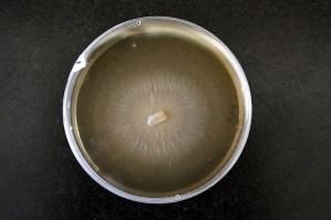 Ophiostoma ulmi (Credit: Wikipedia)