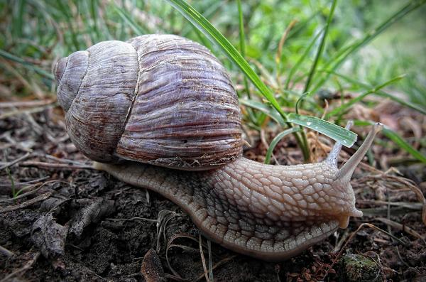 Snail (Credit: J P/Flickr)