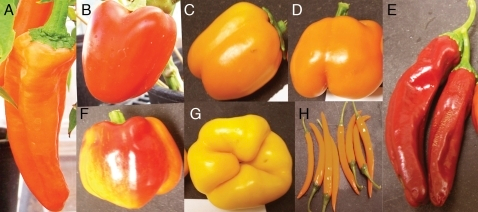Capsicum annuum (different) varieties (Source: openi.nlm.nih.gov)