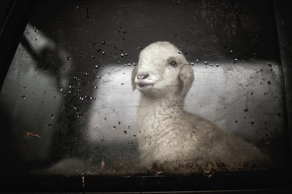 Lamb watching outside