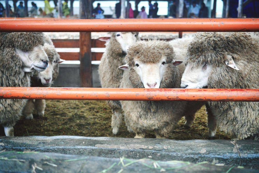 Daegwallyeong Sheep Farm, South Korea.