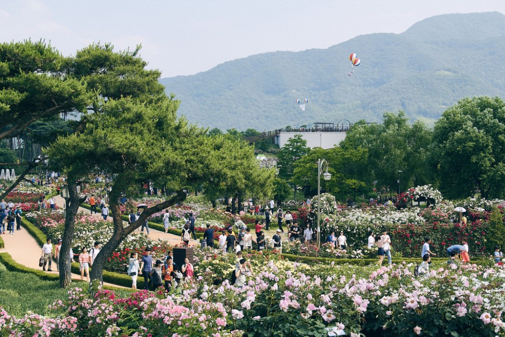 Travel Photographer | Gokseong International Rose Festival South Korea Summer