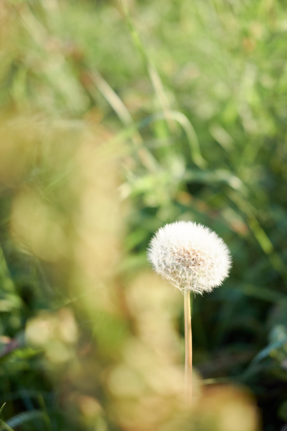 Travel photographer | Dandelion in Norway