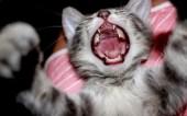 crying-kitten
