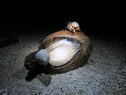 Crabs feasting on coconut