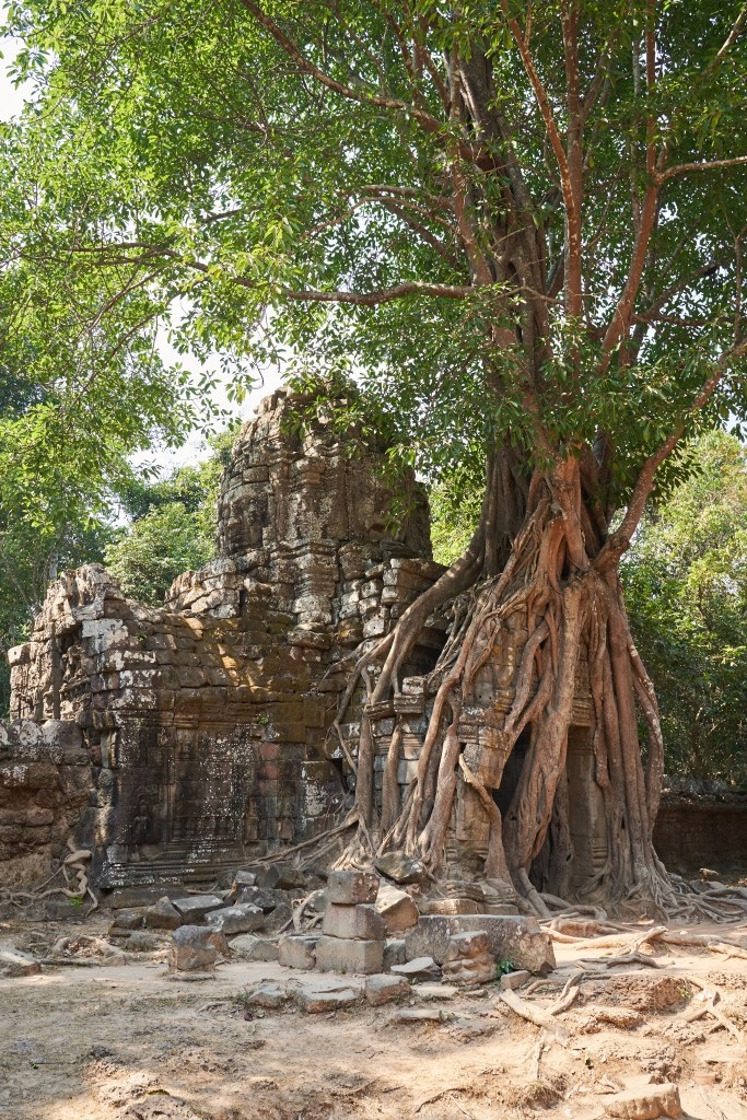 Trees overgrowing a temple in Angkor