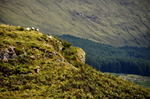 Sheep on the West Highland Way