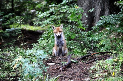 Fox in Durmitor National Park