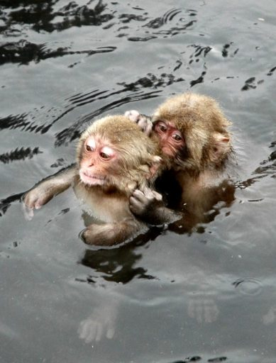 Monkey babies playing in Yudanaka