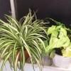 浴室の我が子たち [オリヅルランとシンゴニウムが最適!]【oyageeの植物観察日記】
