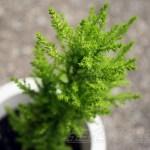ゴールドクレストの管理|育て方や特徴、増やし方、水やり、失敗しないコツをご紹介【oyageeの植物観察日記】