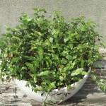 ブライダルベールの植替え|今年最初なので、手始めに小さな鉢で…【oyageeの植物観察日記】