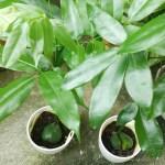 ジャックと豆の木の管理|育て方や特徴、増やし方、水やり、失敗しないコツをご紹介【oyageeの植物観察日記】