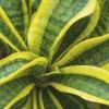 サンセベリアの管理|育て方や特徴、増やし方、水やり、失敗しないコツをご紹介【oyageeの植物観察日記】