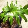 セロームの管理|育て方や特徴、増やし方、水やり、失敗しないコツをご紹介【oyageeの植物観察日記】