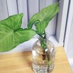 気根が出たシンゴニウムは水挿しがオススメ!!【oyageeの植物観察日記】