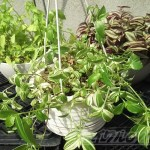 トラデスカンチア三姉妹【oyageeの植物観察日記】
