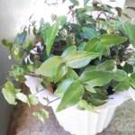 茎挿し(挿し芽)にしたブライダルベールのその後。/ あの時のあの植物は今?【oyageeの植物観察日記】