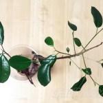 生還したガジュマルのその後… [ガジュマルの水挿し]【oyageeの植物観察日記】