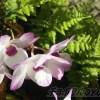 シノブとデンドロの「和」と「初夏」を思わせるような競演【oyageeの植物観察日記】