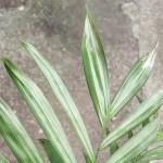 テーブルヤシが一晩で斑入りにイリュージョン? いやいや葉焼けです…。【oyageeの植物観察日記】