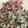 ゼブリナの葉の微妙な色違いの原因は、実はアレにあった!?【oyageeの植物観察日記】