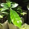 コーヒーノキよ、お前もか? 次々と巨大化する植物たち【oyageeの植物観察日記】