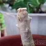 コンシンネとコンパクタに芽が出たが、今、ドラセナ界では「メガ4」がトレンド !?【oyageeの植物観察日記】