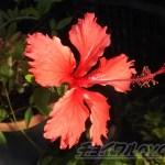 oyageeのハイビスカス第1号が開花! ちょっと早いが「夏が来た !?」【oyageeの植物観察日記】