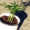 ダイソーのミニ観葉をダイソー100均グッズで楽しもう vol.1|テーブルヤシの新旧コラボでちょっと洒落た鉢に植えてみた【oyageeの植物観察日記】